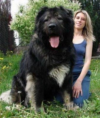 perros grandes4